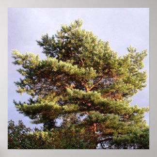 sun shining through pine poster