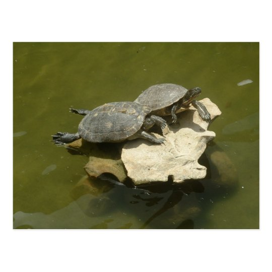 Sunbathing turtles postcard