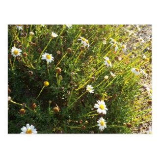 sundown daisy postcard