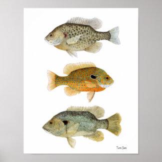 Sunfish- Redear, Longear & Green Sunfish Poster