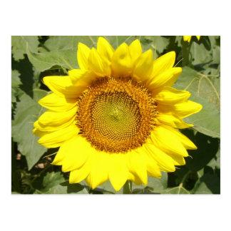 Sunflower 1 post card