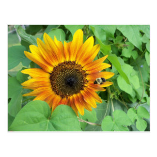 Sunflower and Bumble Bee Postcard