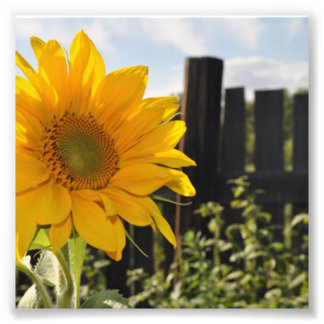 Sunflower and Fence Photo Print