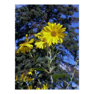 sunflower and pine poster