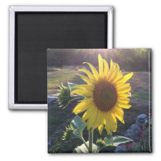 Sunflower at Sunset --- Magnet