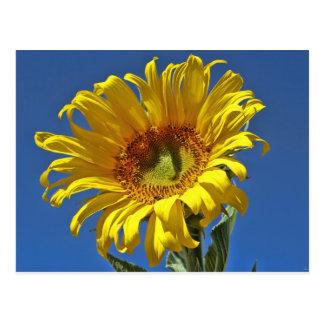 Sunflower Beauty Postcard