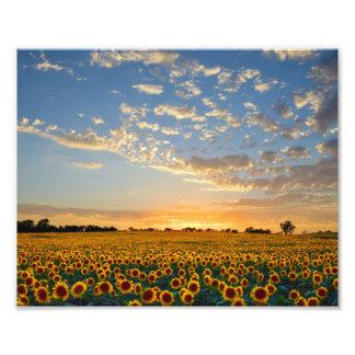 Sunflower Field at Sunset Photo Print