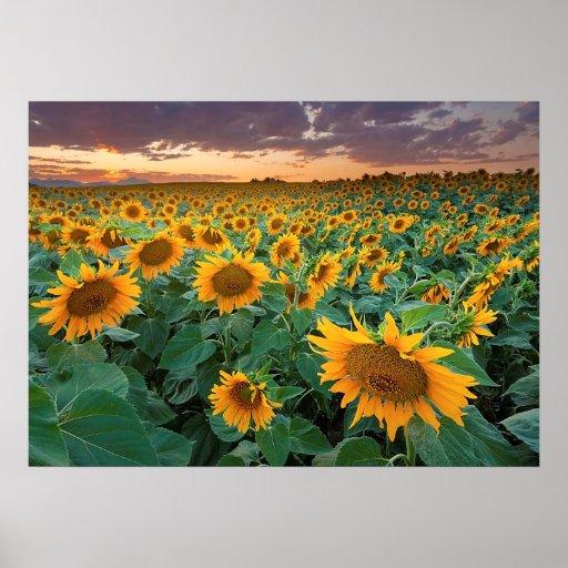Sunflower Field in Longmont, Colorado Print