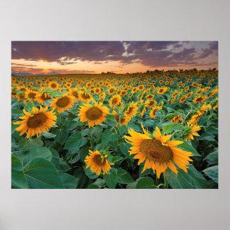 Sunflower Field in Longmont Colorado Print
