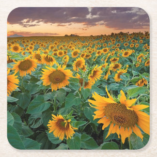 Sunflower Field in Longmont, Colorado Square Paper Coaster