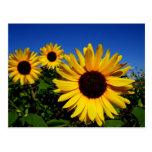 Sunflower Field Postcard