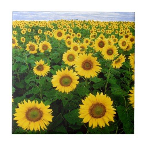 sunflower field ceramic tile