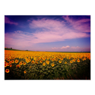 Sunflower Fields Colorized Poster