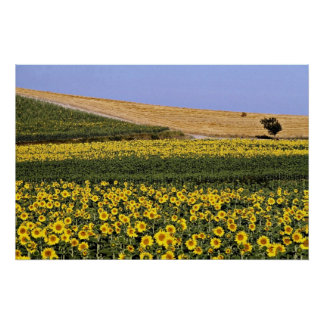 Sunflower fields, Tuscany, Italy  flowers Poster