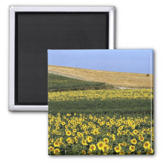 Sunflower fields Tuscany Italy Magnet