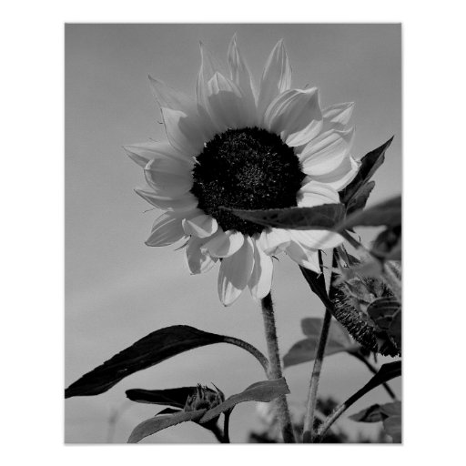 Sunflower in Black & White Poster