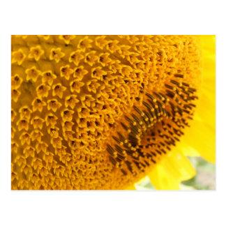 Sunflower - macro postcard