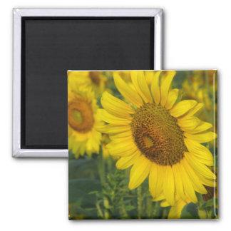 Sunflower Magnet