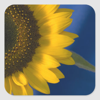 Sunflower on Blue Square Sticker