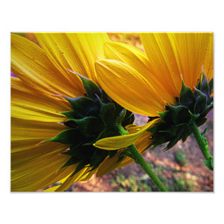 Sunflower on the Pond Photo Print