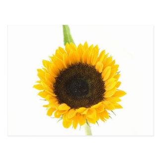 Sunflower On White Background Postcard