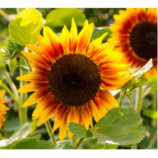 Sunflower Photo Cut Out