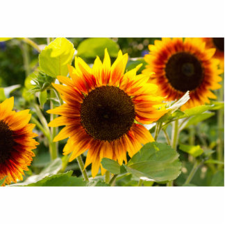 Sunflower Photo Cut Outs