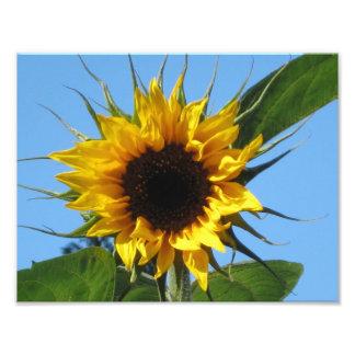 Sunflower Photo Prints - Kodak Professional Paper