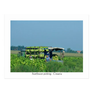 Sunflower picking, Croatia 2008 Postcard
