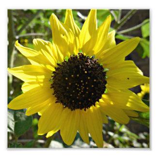Sunflower plant Helianthus annuus Photo Print