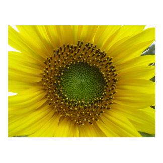 Sunflower! Postcard
