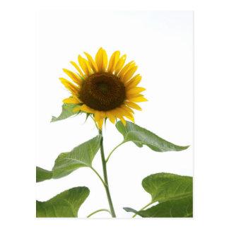 Sunflower Postcard