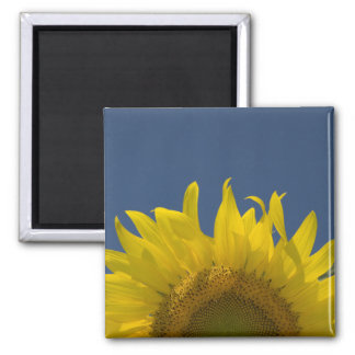 Sunflower Rising Magnet