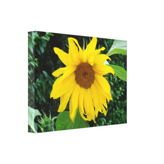 Sunflower Solo Stretched Canvas Print