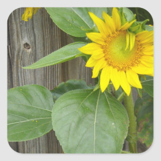 Sunflower Square Stickers