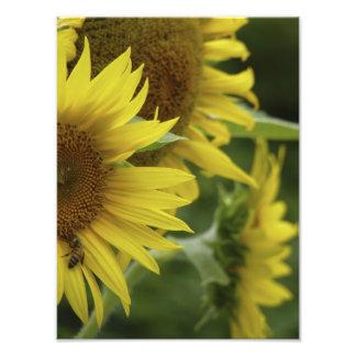"Sunflower Trio 10"" x 8"" Photographic Print"