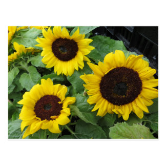 Sunflower Trio Postcard