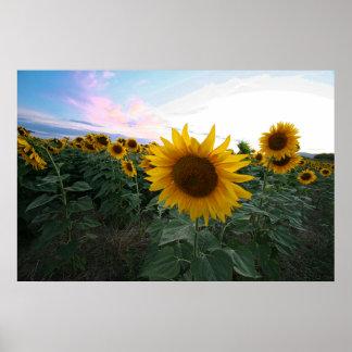 Sunflowers Closeup Sunset Tuscany Italy Poster