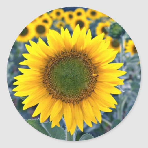 Sunflowers  flowers classic round sticker