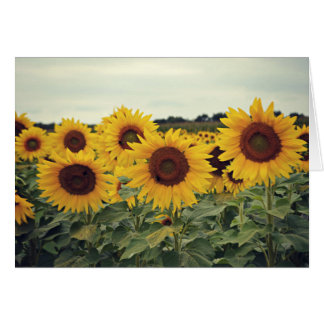 Sunflowers in a Field Card