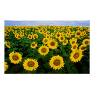 Sunflowers in Fargo, north Dakota Poster