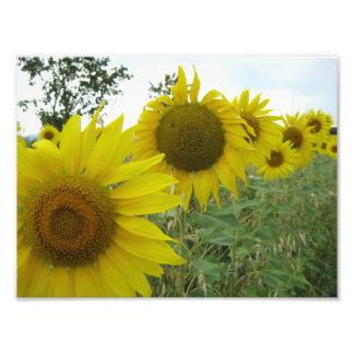 Sunflowers Kodak Professional Photo Paper (Satin)