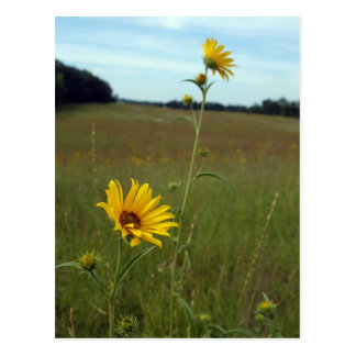 Sunflowers Postcard