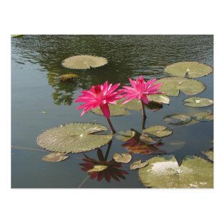 Sunken Gardens Pink Water lilies #8  08 Postcard