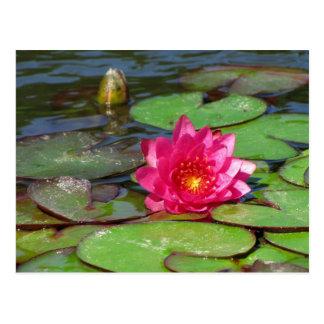 Sunken Gardens pink water lily 10 Postcard