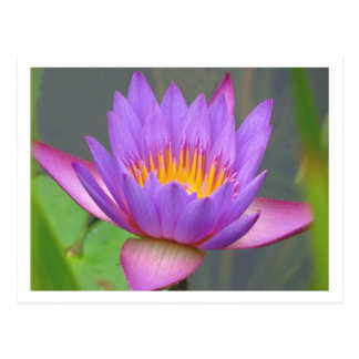 Sunken Gardens Purple Water Lily 2008  #3  03 Postcard