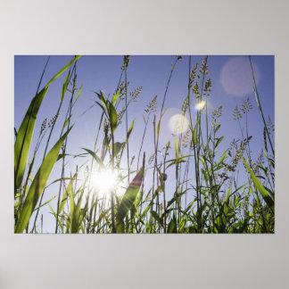Sunlight through grass poster