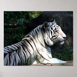 Sunlit tiger poster