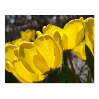 Sunlit Tulips Postcard