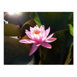Sunlit Waterlily Pink Floral Water Garden Postcard